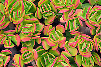 Jade plant leaves with red tips. Park in Santa Monica, California