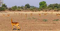 africa, Zambia, South Luangwa National Park, impala female alerting a predator