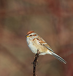 American tree sparrow in northern Wisconsin.