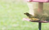 Summer Tanager in my yard.