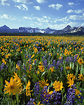 Sneffels Range with Lupine and Sunflowers, Telluride, Colorado,USA. John guides custom photo tours in the Sneffels Range and throughout Colorado.