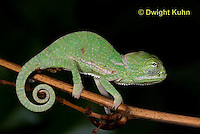CH46-559z  Veiled Chameleon just hatched young, Chamaeleo calyptratus