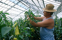 Ungarn Szentes, Nutzung von Geothermie Thermalwasser zum Beheizen der Gewaechshaeuser bei Arpad Agrar Genossenschaft, Ernte Gemuese Paprika / HUNGARY Szentes, use of thermal water to heat green house of ARPAD Agro cooperative, harvest of Paprika capsicum