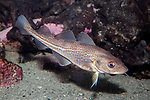 Atlantic Cod juvenile swimming right