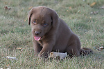 Chocolate lab puppies (Canis familiaris)