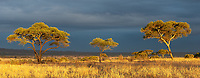 Acacia trees are a familiar sight in the east African savanna.