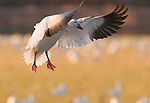 Snow goose, Bosque del Apache National Wildlife Refuge, New Mexico