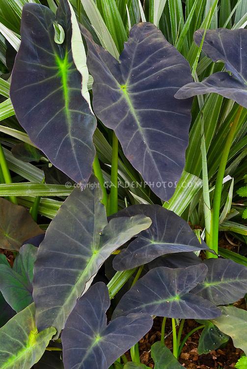 Colocasia esculenta 'Black Leaf' Taro with Astelia chathamica 'Silver Spear'