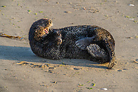 Southern Sea Otter (Enhydra lutris nereis) yawning while resting on sandy beach.  California.