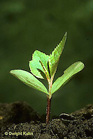 AT11-006c  Apple Tree - seedling showing first true leaves and seed coat on soil