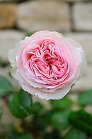 Rosa eden (Eden Rose 88)