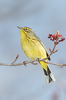 Palm Warbler (Dendroica palmarum) perching on the branch of a tree, Ward Pound Ridge Reservation, Cross River, Westchester County, New York
