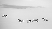 A line of egrets in flight over the marshes near Merritt Island, FL, March 2020.(Photo by Brian Cleary/bcpix.com)