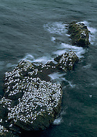 Black-legged Kittiwake, Rissa tridactyla, adults, Ekkeroy, Norway, Europe