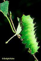 LE41-026b  Polyphemus Moth - caterpillar eating - Antheraea polyphemus
