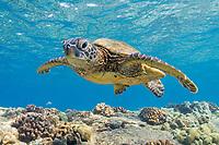 green sea turtle, Chelonia mydas, endangered species, Kona Coast, Big Island, Hawaii, USA, Pacific Ocean