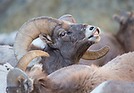 """Bighorn Sheep ram """"smelling"""" to check herd for any receptive ewes"""