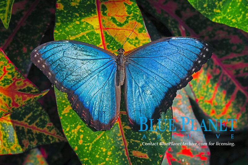 Blue Morpho (Morpho anaxibia), adult, resting on leaf