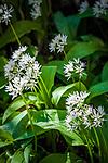 Frankreich, Bourgogne-Franche Comté, Département Jura: bluehender Baerlauch | France, Bourgogne-Franche Comté, Jura Department: blooming wild garlic