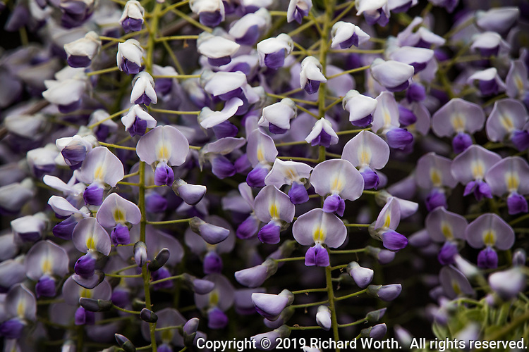 A field of flowers in a few square inches - a closeup of lilac blossoms dangling from a backyard fence.