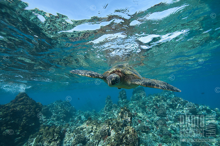 Green sea turtle is a common sight in Maui, Hawaii.