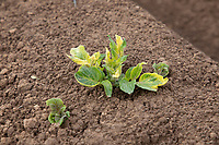 Potato plant emerging, affected with pre emergence herbicide  - Lincolnshire
