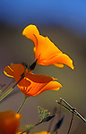 California poppies in San Luis Obispo, California.