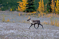Woodland Caribou or mountain caribou (Rangifer tarandus caribou) cow running , Northern Rocky Mountains,  British Columbia.  Fall.