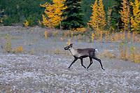 Woodland Caribou or mountain caribou (Rangifer tarandus caribou) cow running , Northern Rocky Mountains,  British Columbia.  Fall.