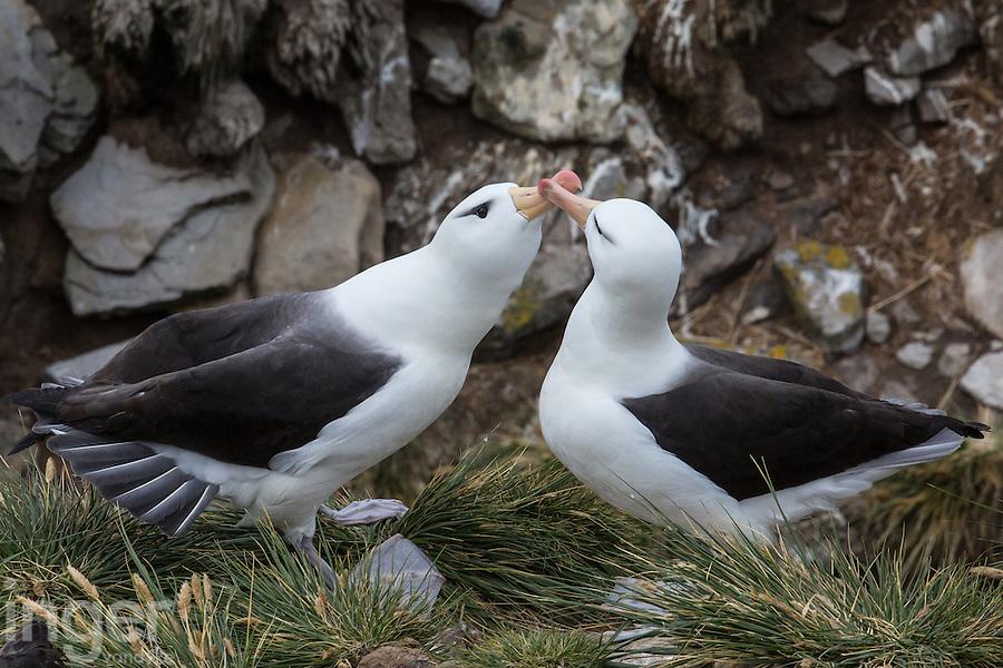 Black-browed Albatrosses Black-browed Albatrosses nesting at West Island, the Falkland Islands
