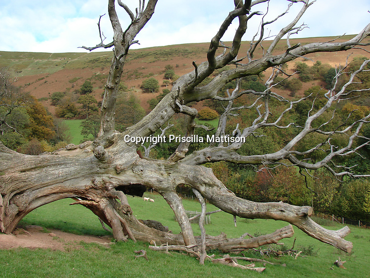 Llanthony, Wales - November 2, 2006:  A dead tree lies toppled in the Welsh hills.