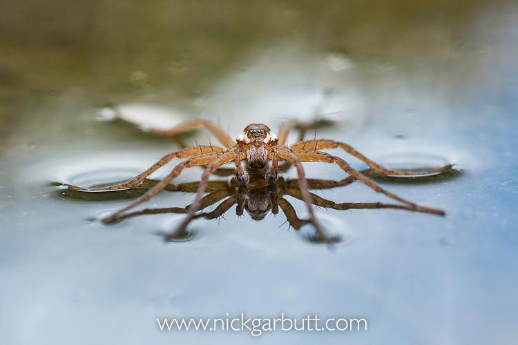 Raft spider (Dolomedes fimbriatus) resting on water's surface. Nordtirol, Tirol, Austian Alps, Austria. July.