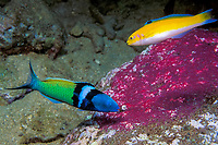 bluehead wrasses, Thalassoma bifasciatum (terminal phase or supermale below, initial phase above), feeding on eggs of sergeant major damselfish Commonwealth of Dominica (Eastern Caribbean Sea), Atlantic