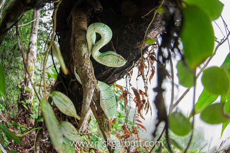 Adult Wagler's Pit Viper (Tropidolaemus wagleri) concealed but basking in mist-shrouded forest under storey. Danum Valley, Sabah, Borneo.