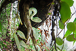 Adult Wagler's Pit Viper (Tropidolaemus wagleri) concealed but basking in mist-shrouded forest under storey. Danum Valley, Sabah, Borneo.