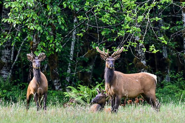 Roosevelt Elk (Cervus elaphus roosevelti) bulls in velvet in Olympic National Park, WA.  June.