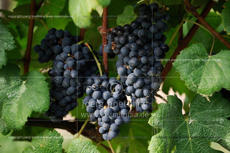 Uruguay, wine maker, Castel Pujol - Juan Carrau SA, Bodega Colon since 1887, near Montevideo cultivation of grape Tannat