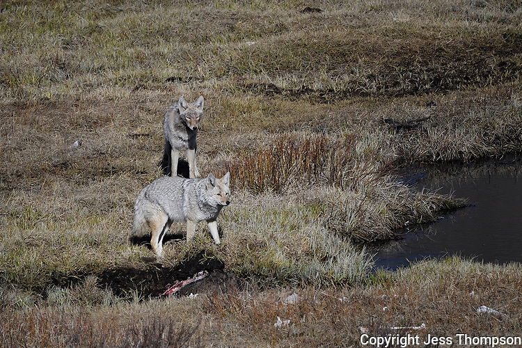 Coyotes at carcass on Blacktail Ponds, Yellowstone
