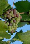 Santa Cruz Co. Vineyards and Wineries, CA