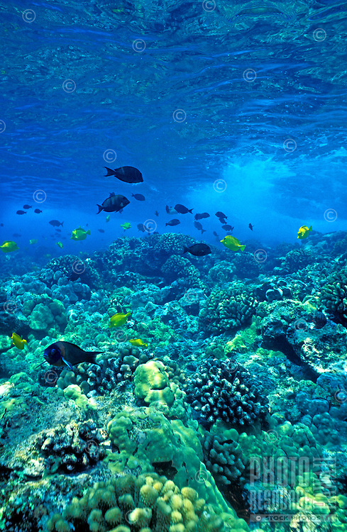 Reef fish in the pristine clear blue water off Kealakekua Bay on the Big Island of Hawaii.