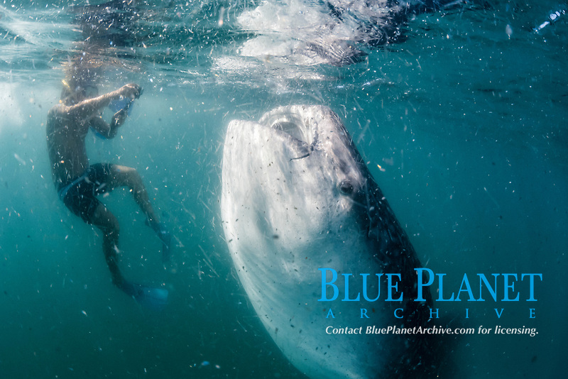 whale shark, Rhincodon typus, feeding on plankton, and snorkeler, El Mogote, La Paz, Baja California Sur, Mexico, Sea of Cortez, Gulf of Califoria, Pacific Ocean