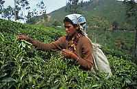 India Tamil Nadu, women harvest tea leaves in Nilgiri mountains / INDIEN, Frauen ernten Teeblaetter in den Nilgiri Bergen
