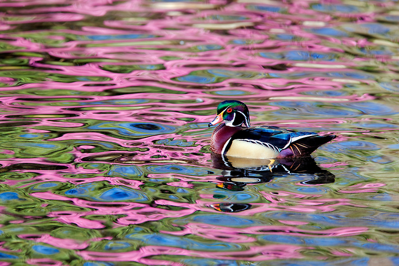 Wood duck at Cystal Springs Rhododendron Garden with reflecting Rhododendron in bloom. Portland, Oregon