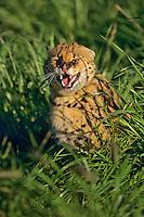 Snarling Serval (Leptailurus serval)