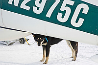 Dropped dog *Cory* stands outside an airplane at McGrath during the 2008 Iditarod