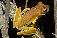 """Nome científico: Boana alfaroi<br /> Nome comum - inglês: Alfaro's Treefrog<br /> .<br /> Espécie descrita em 2014. Amplamente distribuída na bacia amazônica porém pouco conhecida quanto à sua biologia.<br /> .<br /> Imagem feita em 2008 durante estudo de diagnóstico da flora e da fauna na área de influencia do empreendimento """"Aproveitamento Hidroelétrico Belo Monte"""". Rio Xingu, Estado do Pará, Brasil."""