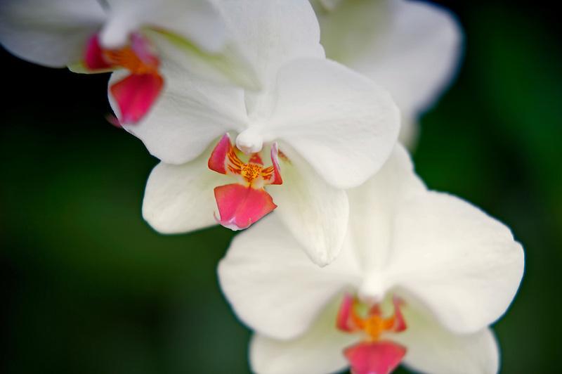 Oriental Orchid. Phal. Oriental Yellowbird. Oregon Coast Garden Center.
