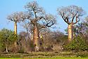 Boabab trees {Adansonia grandidieri} Morondava, Madagascar.