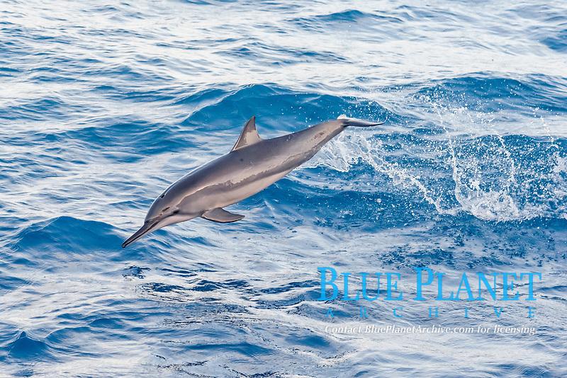 Hawaiian or Grays Spinner Dolphin, Stenella longirostris, porpoising, Maldives, Indian Ocean