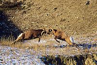 Rocky Mountain Bighorn Sheep Rams butting heads--dominance behavior.  Canadian Rockies. Fall rut.